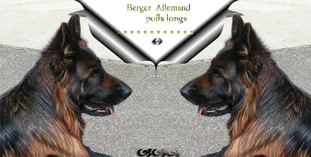 berger allemand poil long